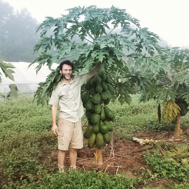 This papaya was a small potted plant that was set in the ground in May. Photo taken in November.