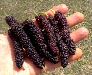 Himalayan mulberries
