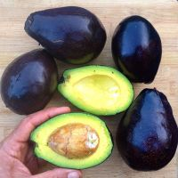 Cold Hardy Avocados: Guide to Cultivation and Varieties