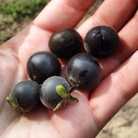 Ebenaceae - The Persimmon Family