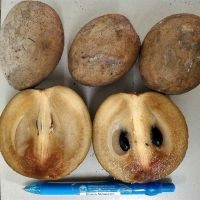 I just got a plant of 'Silas Woods', the dwarf, everbearing sapodilla