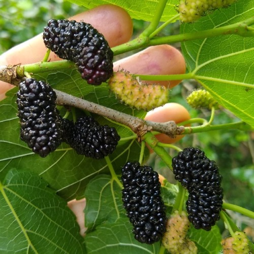 50c0691e95 Mulberry leaves and twigs are among the favorite foods of deer. So if you  live in deer country, and you're planting out young little mulberry trees  in the ...