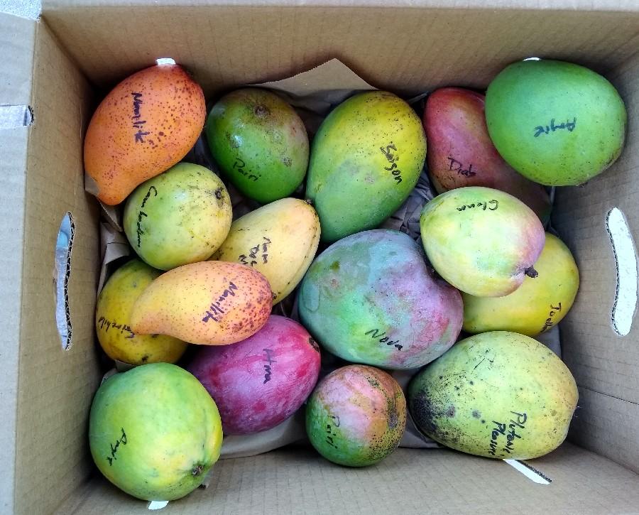 A Visit To Mango Men Richard Campbell Sons Florida Fruit Geek