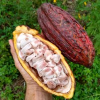 What it's like to eat cacao fruit