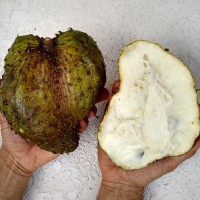 Annonaceae - The Cherimoya Family