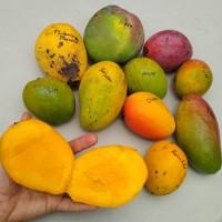 Anacardiaceae - The Mango Family